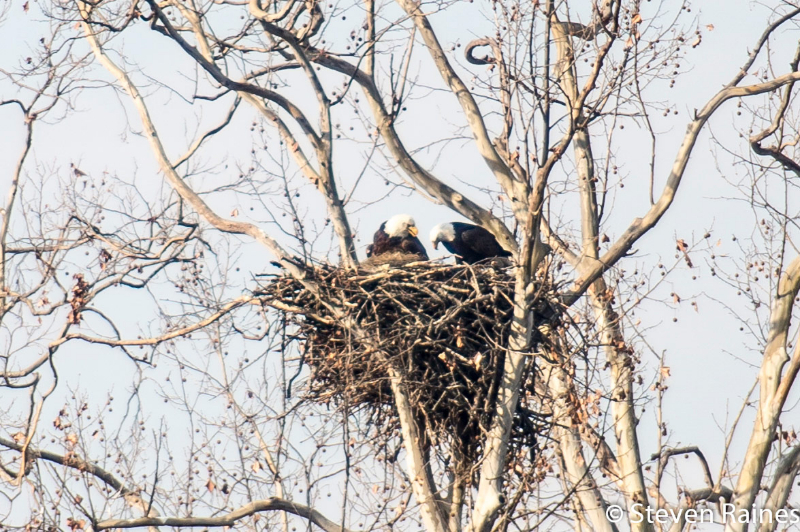 2013 Isaac and Rebekah - Name the Eagle Chicks at His Place Resort