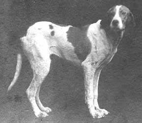 foxhound2