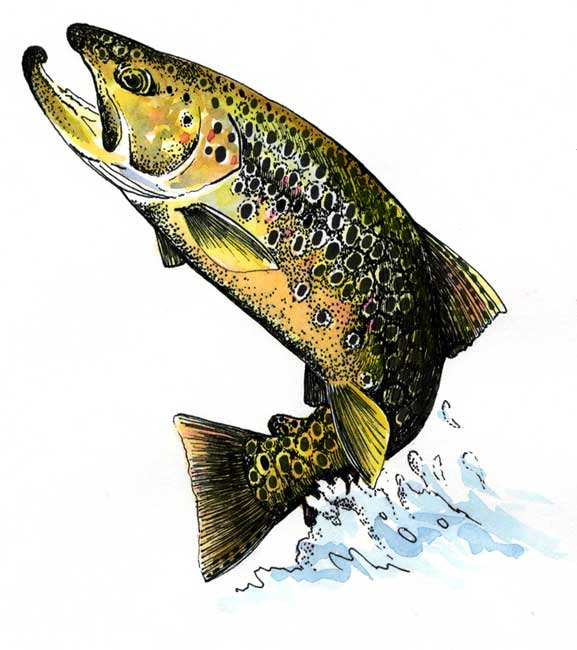 Brown Trout on the White River