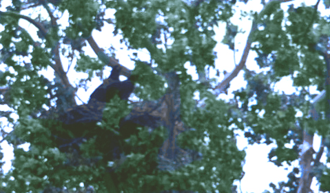 2 Female Eagle Chicks, 2012, White River @ His Place Resort