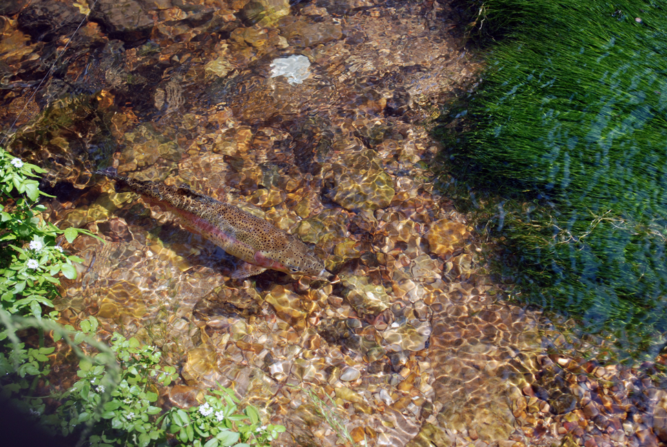 Monster Rainbow Trout, Photo Courtesy of Donna H.