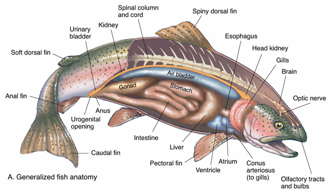 Trout Anatomy