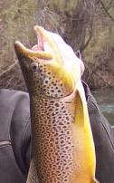 """Improper trout handling - \""""gillplating\"""""""